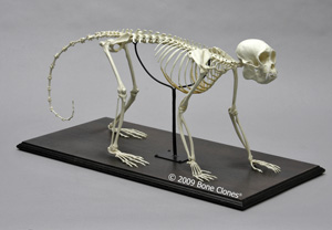 Articulated Weeping Capuchin Monkey Skeleton