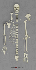Human Male European Half Skeleton SCM-192-DH