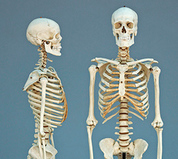 All Human Skeletons