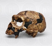 Featured Fossil Hominids