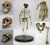 (all fossil hominid)