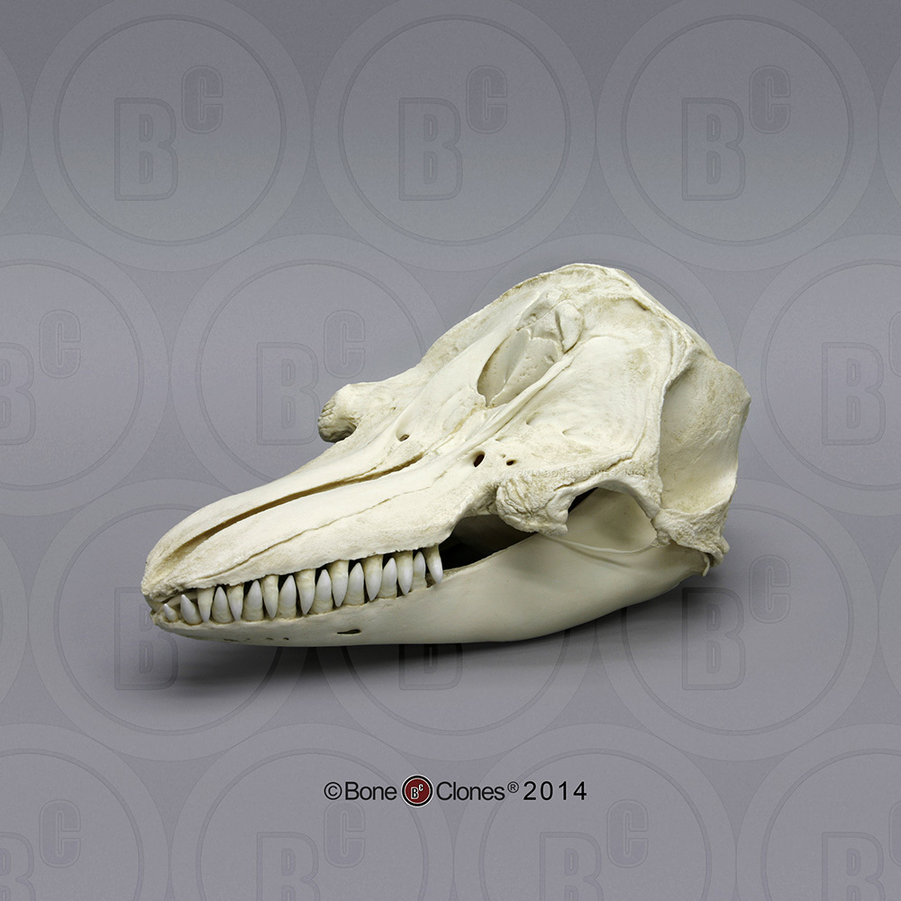 False Killer Whale Skull - Bone Clones, Inc. - Osteological ...