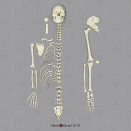 Human Male Asian Robust Half Skeleton SC-287-DH