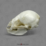 Common Vampire Bat Skull
