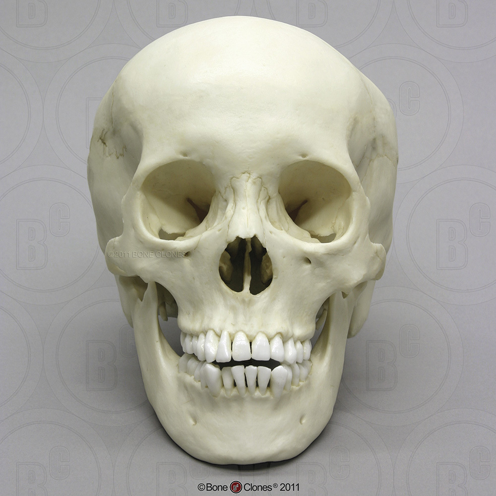 Human Adolescent Skull Bone Clones Inc Osteological Reproductions