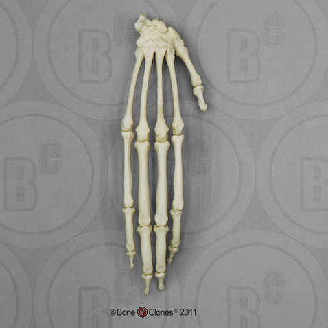 Black Spider Monkey Hand, Articulated Rigid