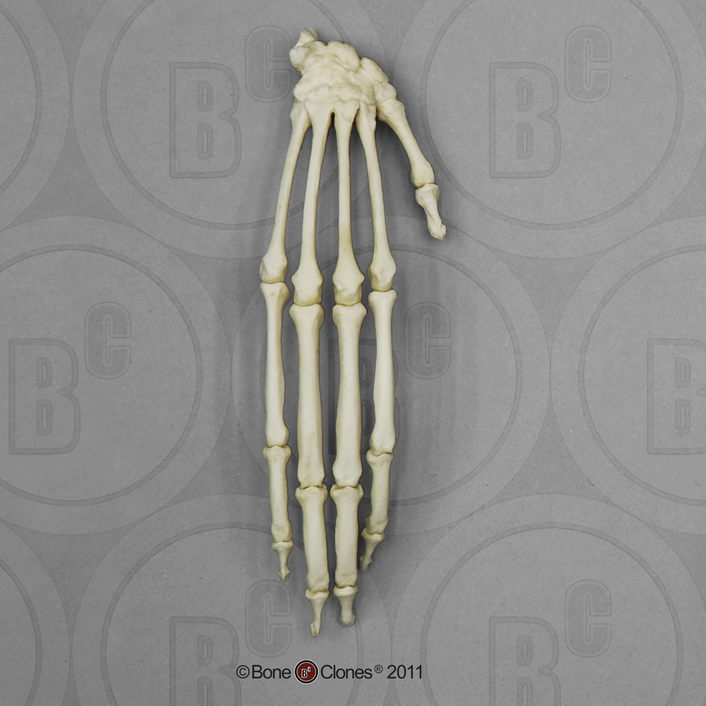 Black Spider Monkey Hand, Articulated Rigid - Bone Clones, Inc ...