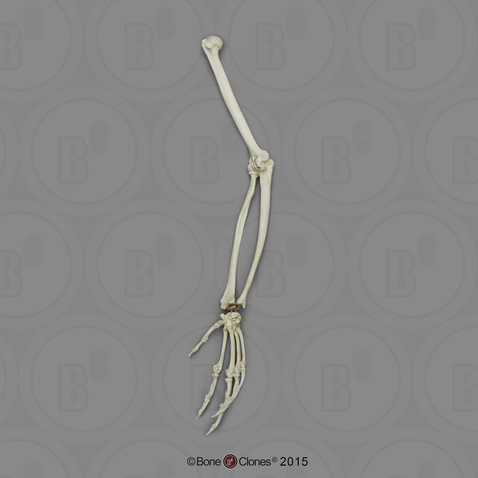 Bonobo Arm, Articulated w/ Articulated Rigid Hand (no Scapula)