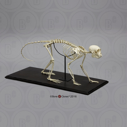 Weeping Capuchin Monkey Skeleton, Articulated