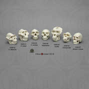Set of 7 Primate Skulls, 1:2 scale