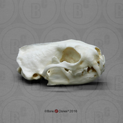 Black-footed Ferret Skull