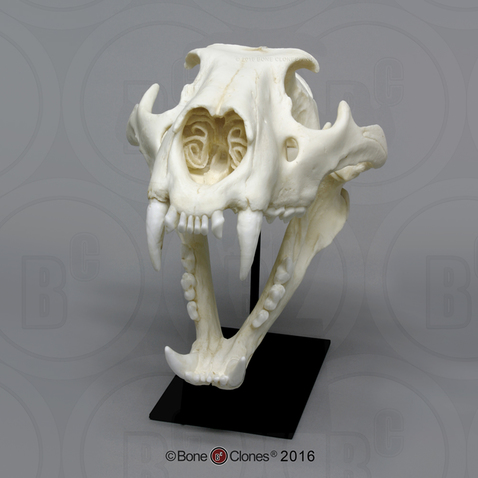 Male African Lion Skull