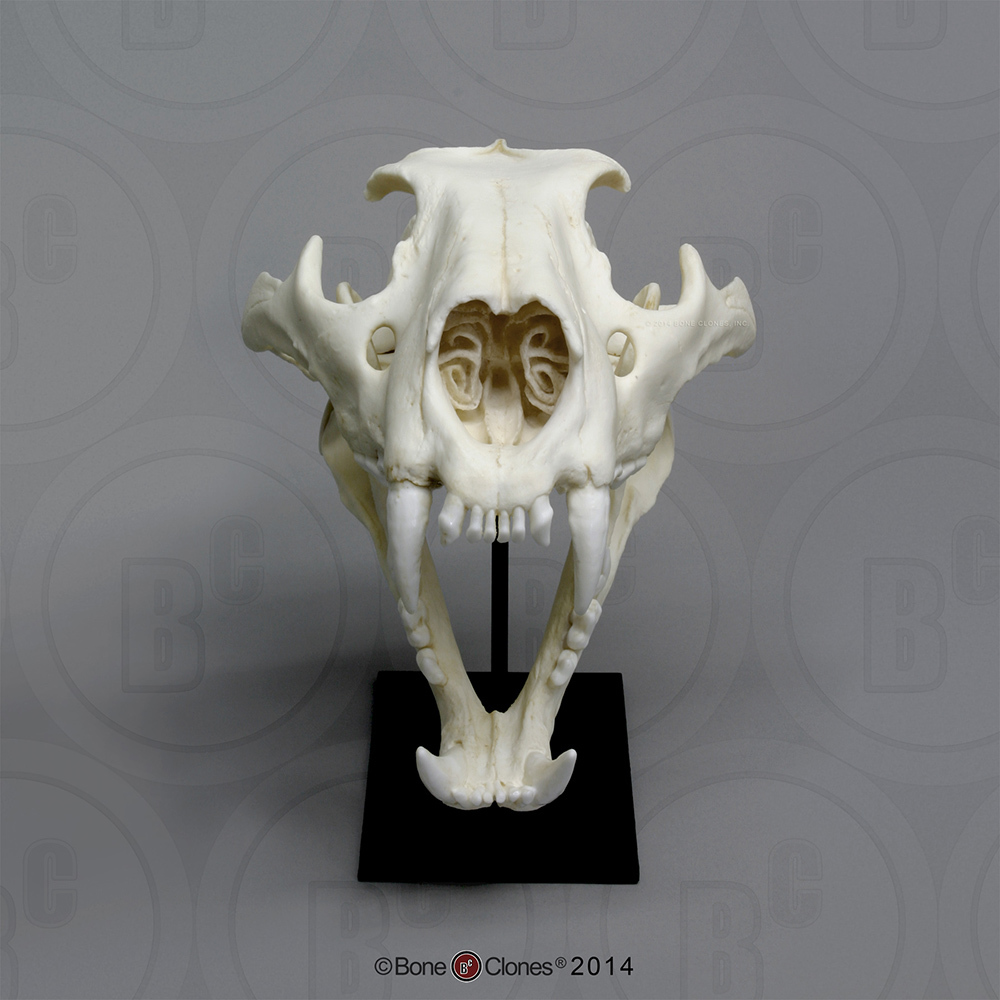 African Lion Skull Male Bone Clones Inc