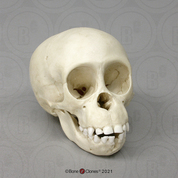 Chimpanzee Infant Skull