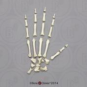 Rhesus Macaque Hand, Disarticulated