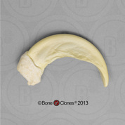 Sloth Bear Claw