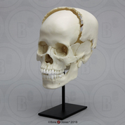 Articulated Human Medical Study Skull