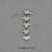 Bonobo Lumbar Vertebrae, set of 5