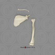 Rhesus Macaque Humerus, Scapula and Clavicle Set