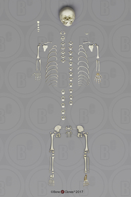 Disarticulated Human 14 to 16-month-old Child Skeleton and Individual Bones