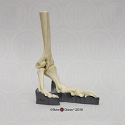 Articulated Ostrich Foot