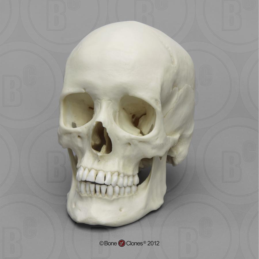 Human Female Asian Skull - Bone Clones, Inc ...  |Female Human Skull