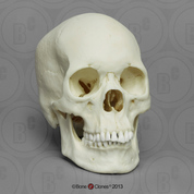 Human Female Asian Skull