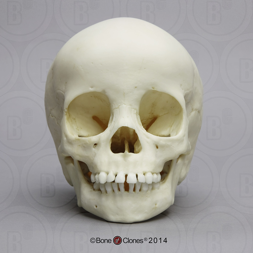 3-year-old Human Child Skull - Bone Clones, Inc. - Osteological ...