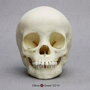 3-year-old Human Child Skull