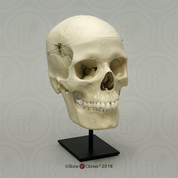 Human Female European 7-Piece Study Skull