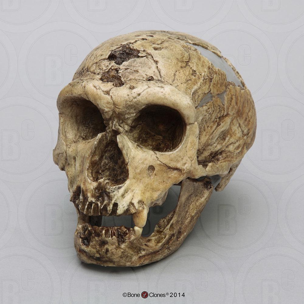 Fossil Hominids Set of 6 Skulls - Bone Clones, Inc ...