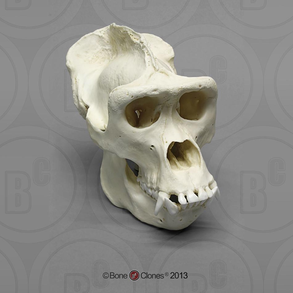 Set of 7 Primate Skulls - Bone Clones, Inc. - Osteological ...