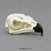 Red-tailed Hawk Skull