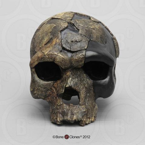 Image result for Homo sapiens idaltu