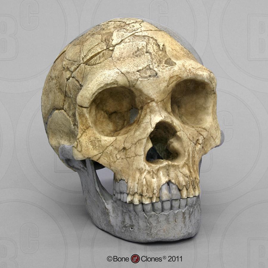 Homo heidelbergensis skull diagram