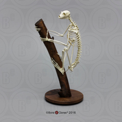 Indri Lemur Skeleton, Articulated