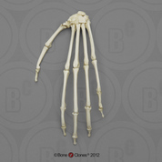 Indri Lemur Hand, Articulated Rigid