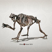 Short-faced Bear Articulated Quadruped Skeleton