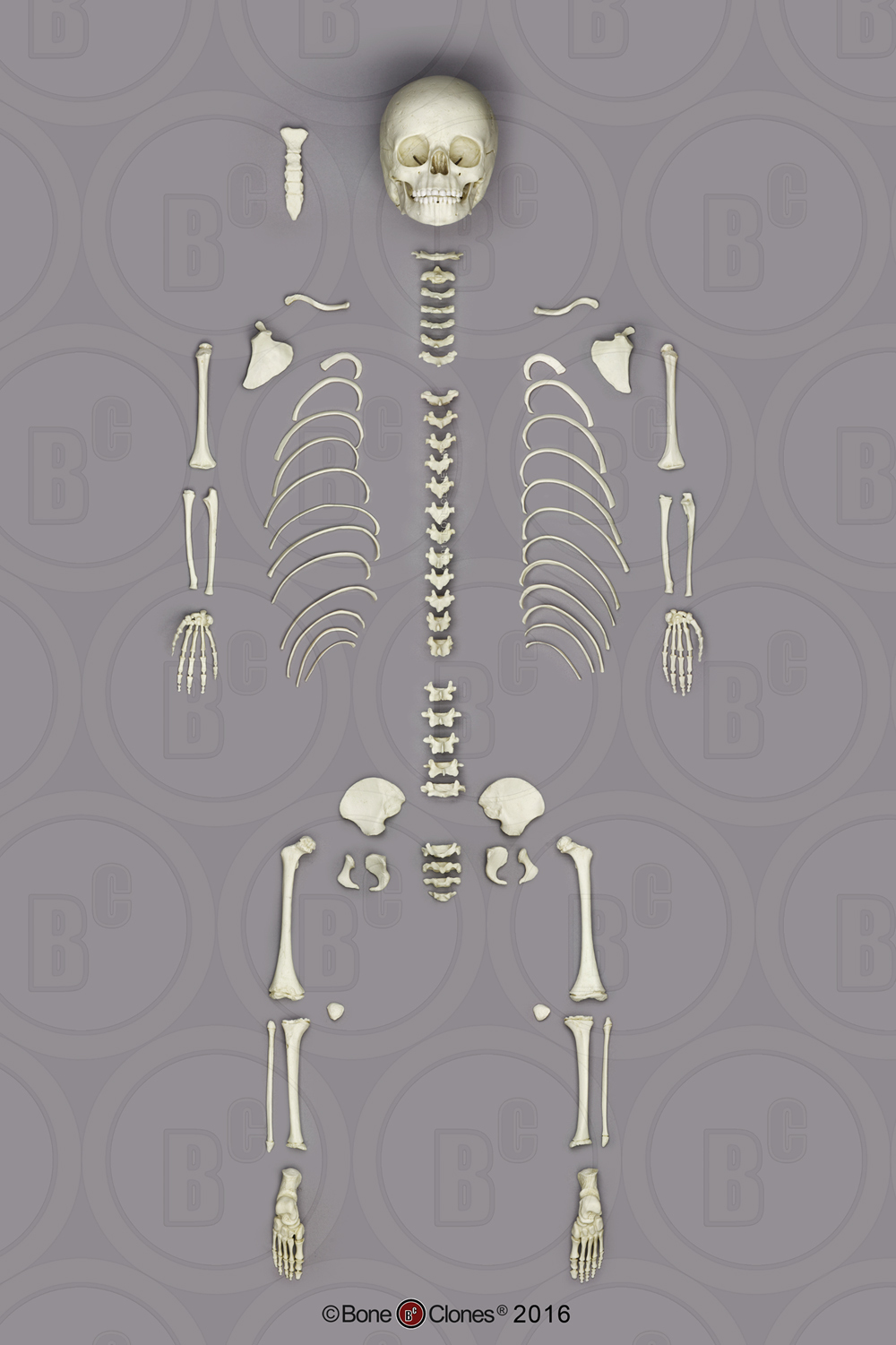 disarticulated human skeletons - bone clones, inc. - osteological, Skeleton