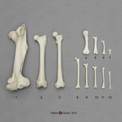 Bone Scaling Femur Set