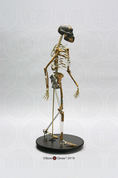 "Articulated Walking ""Lucy"" Skeleton"