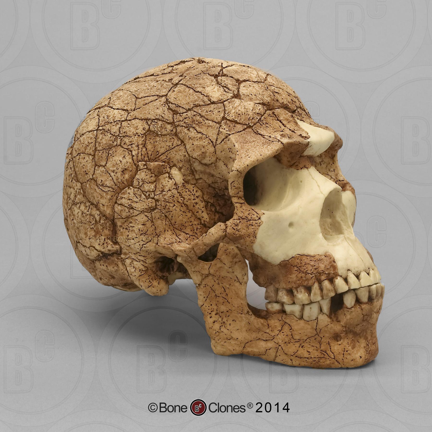 Homo sapiens Skull Skhul 5 - Bone Clones, Inc ... Homo Sapiens Neanderthalensis Skull