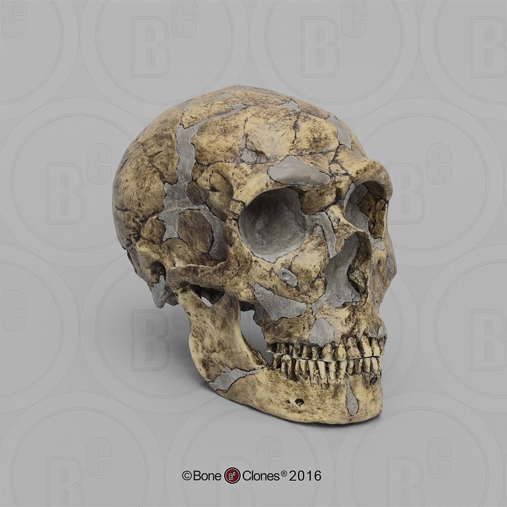 Homo heidelbergensis Skull Atapuerca 5 - Bone Clones, Inc ...