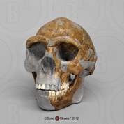 Homo erectus Skull - Tattersall / Sawyer Recreation