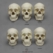 Human Male and Female Skulls: African, Asian, and European COMP-120-SET