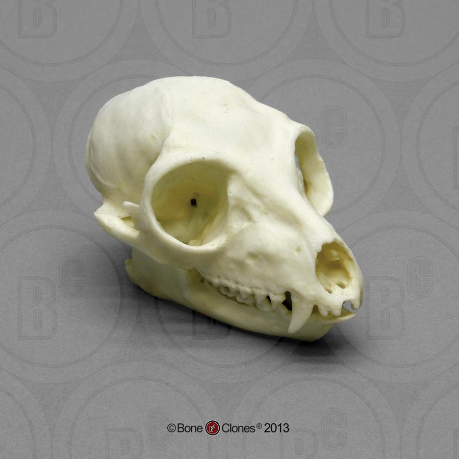 Ring Tailed Lemur Skull Bone Clones Inc Osteological Reproductions