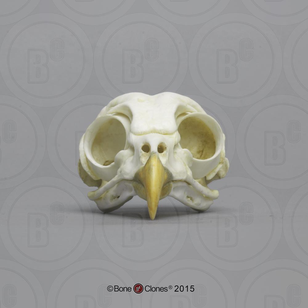 Barred Owl Skull - Bone Clones, Inc. - Osteological ... - photo#8