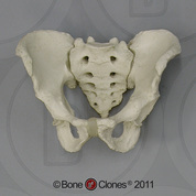 Human Male Adult Pelvis Assembly