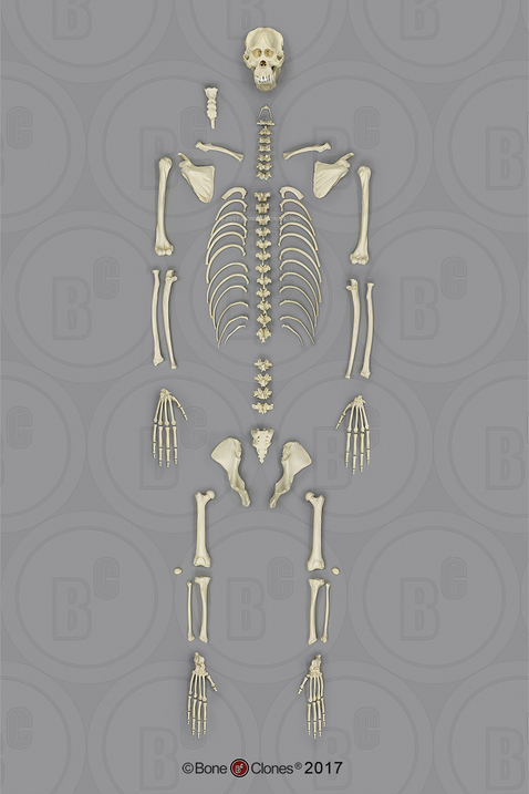 Disarticulated Orangutan Skeleton