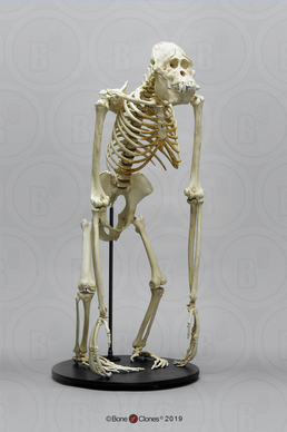 Articulated Orangutan Skeleton